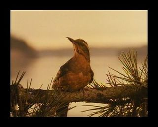 Meadowlark1