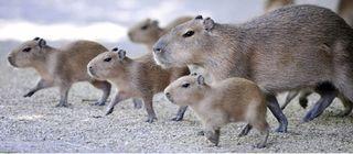 Nm_capybara2_080519_ssh_2